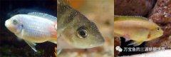 三湖慈鲷疾病的预防和处理窍门