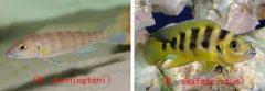 坦鲷饲养系列11:金六间类(Neolamprologus sexfasciatus group)