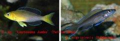 坦鲷饲养系列13:剑沙类(Cyprichromis group)