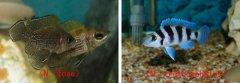 坦鲷饲养系列15:五间半类(Neolamprologus tretocephalus group)