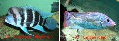 坦鲷饲养系列16:六间类(Cyphotilapia frontosa group)