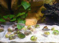 岩石-水草-贝壳型(小型-卷贝缸)