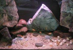 贝壳-岩石型(中小型-小型三湖慈鲷缸)